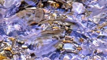 Riverfish_1000